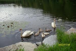 Bolevák labutě
